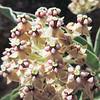 Indian Milkweed  (Asclepias eriocarpa) APOCYNACEAE