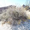 Littleleaf Rhatany  (Krameria erecta) KRAMERIACEAE