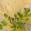 Orcutt's Woody Aster (Xylorhiza orcuttii) ASTERACEAE
