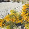 Rabbitbrush (Ericameria paniculata) ASTERACEAE