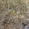 Rush Sweetbush (Bebbia juncea) ASTERACEAE