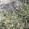 Desert Silverbush (Ditaxis lanceolata) EUPHORBIACEAE