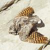 Common Poorwill (Phalaenoptilus nuttallii)
