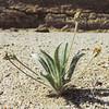 Desert Plantain (Plantago ovata) PLANTAGINACEAE
