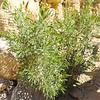 Alkali Goldenbush (Isocoma acradenia) ASTERACEAE