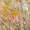 Saltcedar (Tamarix ramosissima) TAMARICACEAE