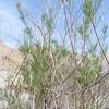 Tamarisk  (Tamarix ramosissima) TAMARICACEAE