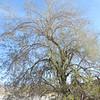 Ironwood  (Olneya tesota) FABACEAE