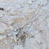 Desert Trumpet (Eriogonum inflatum) POLYGONACEAE