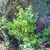 Hollyleaf Cherry  (Prunus ilicifolia) ROSACEAE