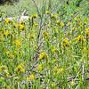 Common Fiddleneck  (Amsinckia intermedia) BORAGINACEAE