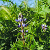 Miniature Lupine  (Lupinus bicolor) FABACEAE