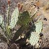 Mojave Prickly Pear (Opuntia phaeacantha) CACTACEAE