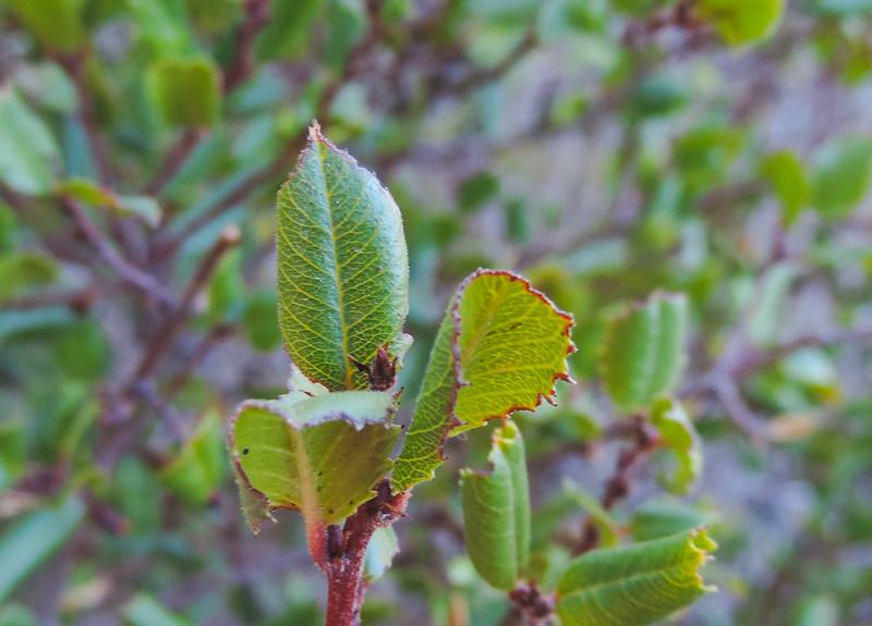 Hollyleaf Redberry (Rhamnus ilicifolia) RHAMNACEAE