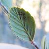 Birchleaf Mountain Mahogany  (Cercocarpus betuloides) ROSACEAE