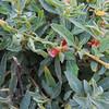 Australian Saltbush  (Atriplex semibaccata) CHENOPODIACEAE