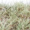 Four-wing Saltbush (Atriplex canescens) CHENOPODIACEAE