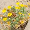 Crown Daisy  (Chrysanthemum coronarium) ASTERACEAE
