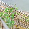 Tree Tobacco (Nicotiana glauca) SOLANACEAE