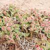 Crystalline Ice Plant (Mesembryanthemum crystallinum) AIZOACEAE