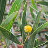 Cylops Acacia (Acacia cyclops) FABACEAE