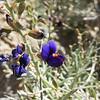 Indigo Bush (Psorothamnus schottii) FABACEAE