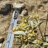 California Croton (Croton californicus) EUPHORBIACEAE
