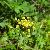 Tansy Mustard (Descurainia pinnata) BRASSICACEAE