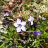 Coastal Gilia (Gilia diegensis) POLEMONIACEAE