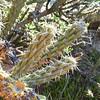 Cane Cholla (Cylindropuntia californica var. parkeri) CACTACEAE