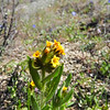 Checker Fiddleneck (Amsinckia menziesii) BORAGINACEAE