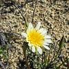 Scalebud (Anisocoma acaulis) ASTERACEAE