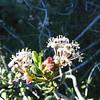 Buckbrush (Ceanothus cuneatus var. cuneatus) RHAMNACEAE