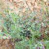 Wishbone Bush (Mirabilis laevis var. crassifolia) NYCTAGINACEAE