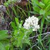 Bicolor Everlasting (Pseudognaphalium biolettii) ASTERACEAE