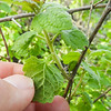 White-flowering Currant (Ribes indecorum) GROSSULARIACEAE