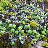 Liverwort (Asterella sp.) BRYOPHYTES