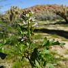 California Mustard (Caulanthus lasiophyllus) BRASSICACEAE