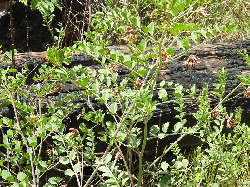 Buck Lotus (Hosackia crassifolia var. crassifolia) FABACEAE