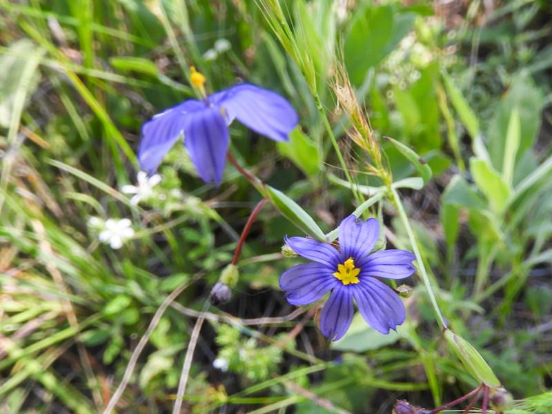 Blue-eyed Grass (Sisyrinchium bellum) IRIDACEAE