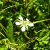 Cleveland's Horkelia (Horkelia clevelandii) ROSACEAE