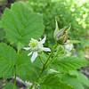 California Blackberry (Rubus ursinus) ROSACEAE