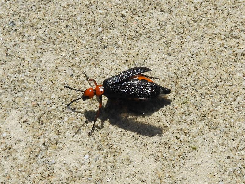 Magister Blister Beetle aka Desert Blister Beetle (Lytta magister)