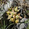 Hairy Milkweed (Funastrum hirtellum) APOCYNACEAE