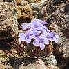 Bristly Langloisia (Langloisia setosissima ssp. setosissima) POLEMONIACEAE
