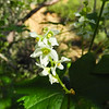Wild Cucumber (Marah macrocarpa) CUCURBITACEAE
