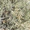 Desert Saltbush (Atriplex polycarpa) CHENOPODIACEAE