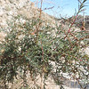 Bush Seepweed (Suaeda nigra) CHENOPODIACEAE