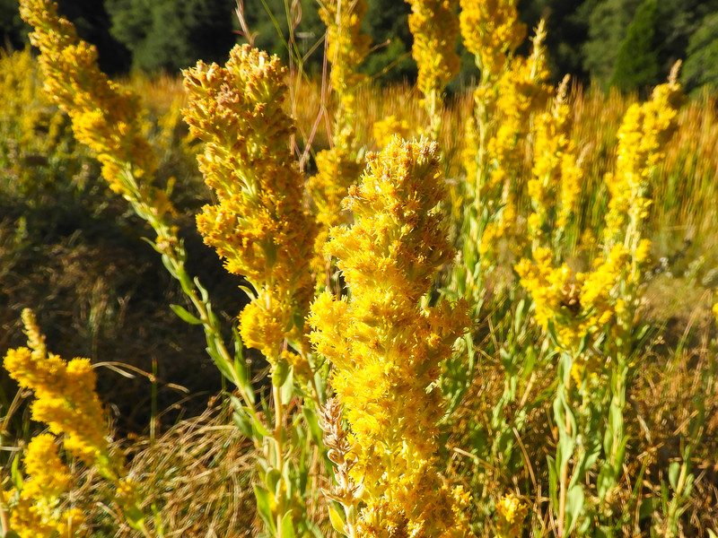 California Goldenrod (Solidago velutina ssp. californica) ASTERACEAE