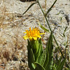 California Trixis (Trixis californica) ASTERACEAE